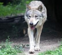 Kommt der Wolf nach Baden-Württemberg?